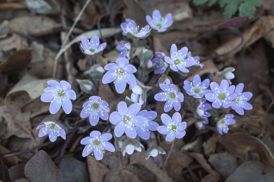 Hepatica Group - Apr 24 - Ridgeview Trail Osceola Loop - Terry Butler