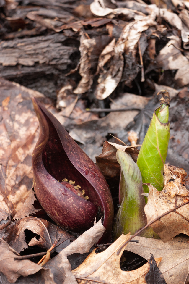 Skunk Cabbage -April 15 - Riverside Trail William O'Brien SP - Ginny Gaynor