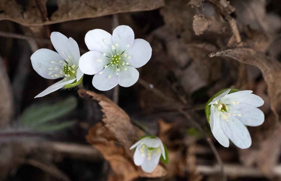 White Hepatica - Apr 11 - Buffalo Section Standing Cedars - Richard Hudson