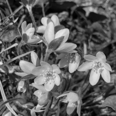 Black and White Rue Anemone - Apr 11 - Indianhead Trail - Sarah Hefty
