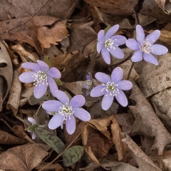 Hepatica - Apr 24 - Indianhead Creek Trail - Mike Chrun