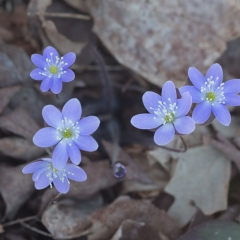 Hepatica - Apr 24 - Ridgeview Trail Osceola Loop - Terry Butler