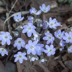 Hepatica Group - Apr 24 - Ridgeview Trail Osceola Loop - Terry Butler