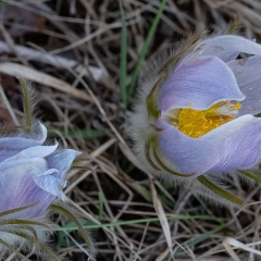 Pasque Flowers-1 - Apr 22 - New RIchmond - Richard Hudson