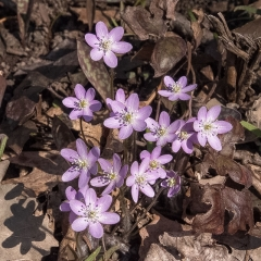 Pink Hepatica - Apr 24 - Indianhead Creek Trail - Mike Chrun