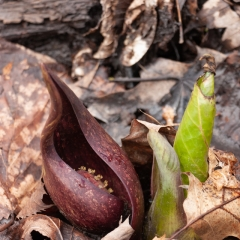 Skunk Cabbage -April 15 - Riverside Trail William O'Brien SP - Ginny Gaynor