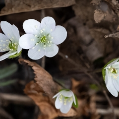 White Hepatica - Apr 11 - Buffalo Section Standing Cedars - Richard Hudson