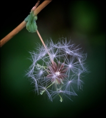 Pictorial-Seed Pod-Don Specht