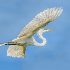 Merit - Nature  - Great Egret - Marianne Diericks