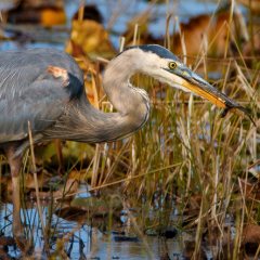 Nature - Big Blue Heron fishing - MJ Springett