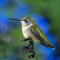 Nature - Hummingbird on Perch - Diane Herman