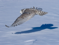 10 Snowy Owl Flight
