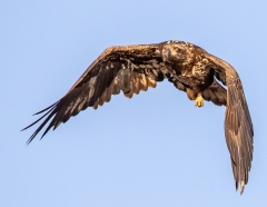 4 Juvenile Bald Eagle Flight