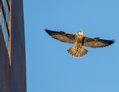 6 Juvenile Peregrine Falcon Flight