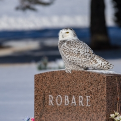 9 Snowy Owl Perched