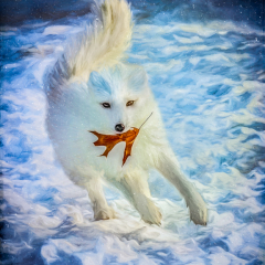 2nd Place - Altered Reality - Arctic Fox at Play - Marian Diericks