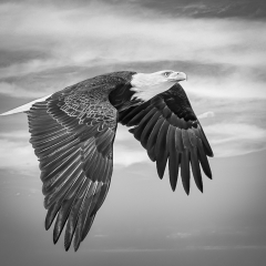 Merit - Black and White - Majestic Eagle - Marianne Diericks