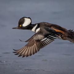 Merit - Nature - Hooded Merganser in Flight - Don Specht