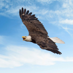 Merit- Pictorial -  Bald Eagle Flight - Steve Plocher