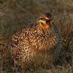 Assignment - Golden Grouse - Marge Springett