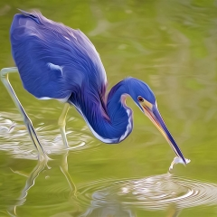 Creative - Tricolored Heron with Lunch - Don Specht
