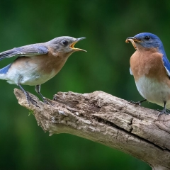 Nature - Female Bluebird Begging for Food - Don Specht
