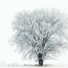Nature - Hoarfrost Tree - Larry Weinman
