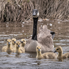 Nature - Mother and Her Goslings - Don Bock