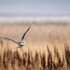 Nature - Short-eared Owl in Flight - Diane Herman