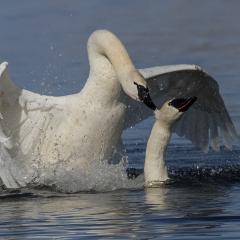 Nature - Trumpeter Swans Maiting - Larry Weinman