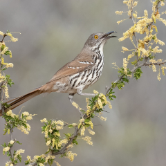 2nd Place - Nature - Long Billed Thrasher - Melissa Anderson