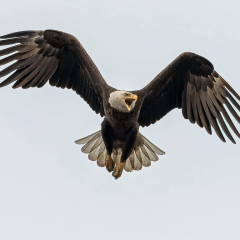 Merit - Nature - Eagle with Outspread Wings - Gerry Uychtil