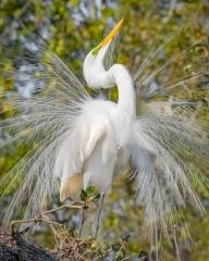 1.Great Egret mating display