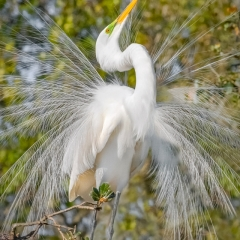 1.Great Egret mating display