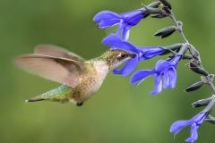 2.Ruby-throated Hummingbird feeding on nectar