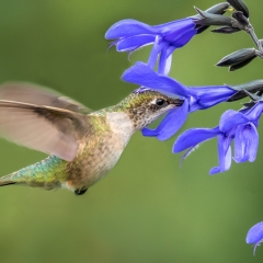 2.Ruby-throated Hummingbird feeding on nectar