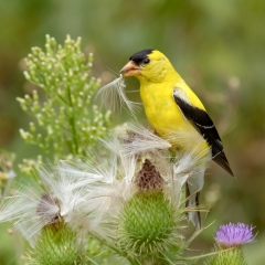 3.American Goldfinch eating thistle