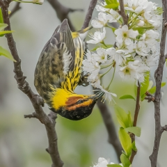 5.Cape May warbler feeding on wild plum blossoms