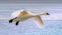 6.Trumpeter Swan in flight