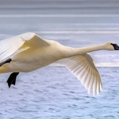 6.Trumpeter Swan in flight