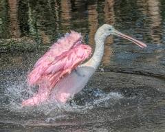 7.Roseate Spoonbill bathing