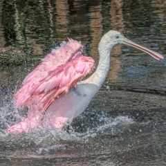 7.Roseate Spoonbill bathing