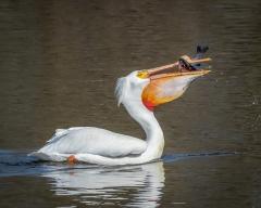9.White Pelican catching fish