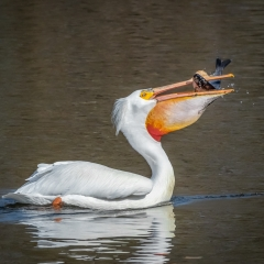 9.White Pelican catching fish