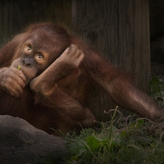 2nd Place Photo Essay The Endangered Orangutans - Pat Chiconis