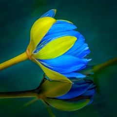 Honorable Mention Altered Reality - Waterlily Bud - Marianne Diericks