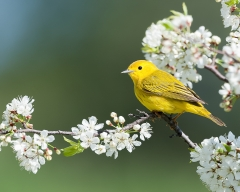1st Place Nature - Spring Warbler - Betty Bryan