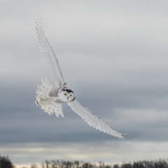 Honorable Mention Nature - Flight of the Snowy - Melissa Anderson