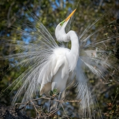 Honorable Mention Nature - Great Egret Mating Display - Marianne Diericks
