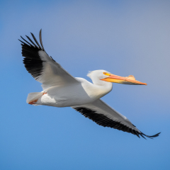 Merit Nature - American White Pelican - Marianne Diericks